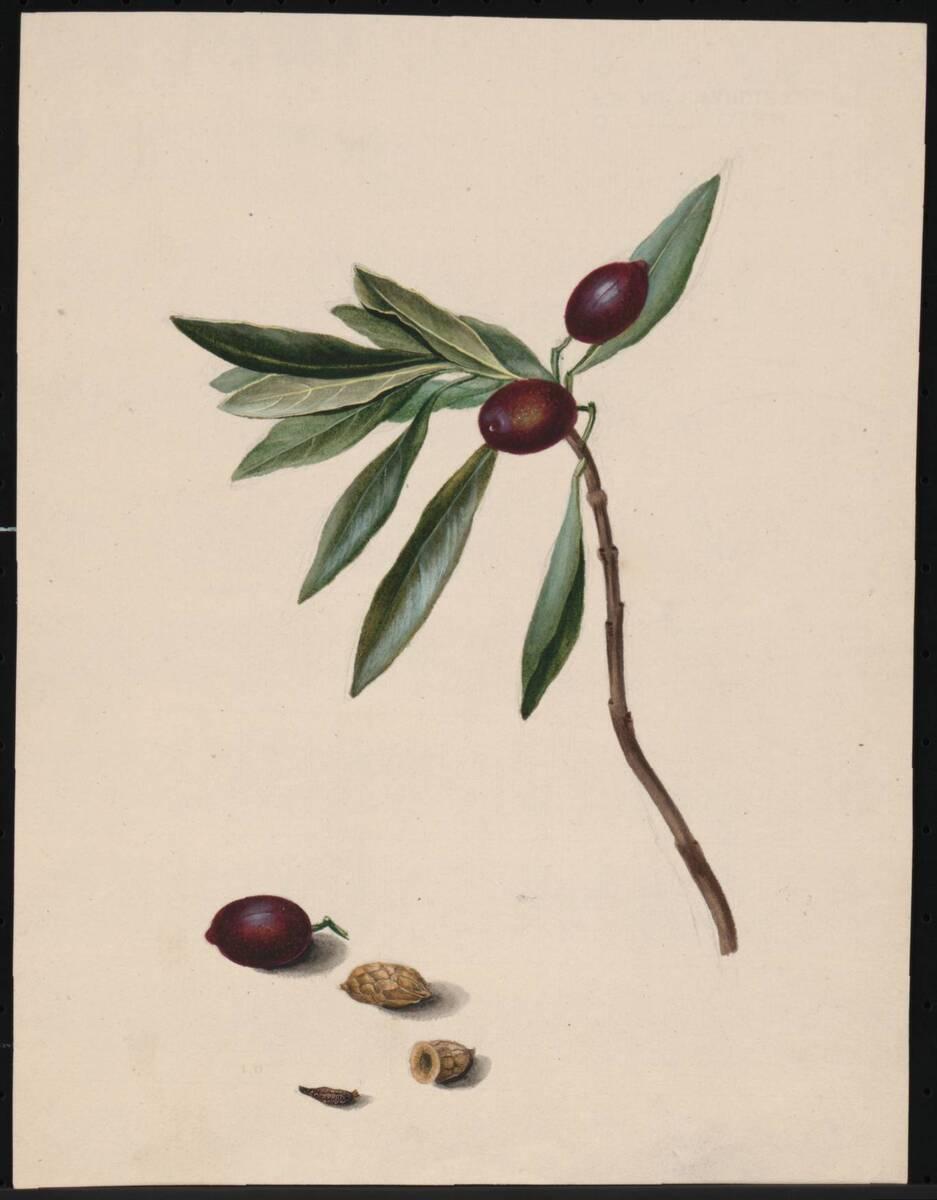 [Olea europaea / Olivenbaum / Pflanzenstudie] (vom Bearbeiter vergebener Titel) von Anonym