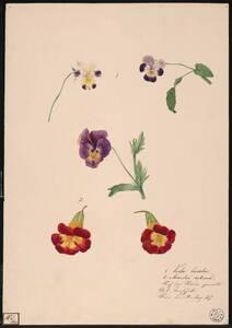 Viola tricolor / Mimulus rubinus [Viola / Veilchen / Mimulus / Gauklerblume / Blumenstudie] (Originaltitel) von Tomschik, Anton