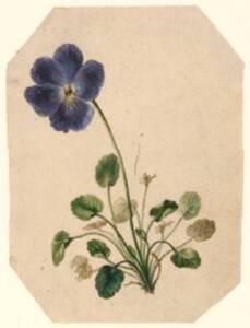 Viola / Veilchen / Blumenstudie (vom Bearbeiter vergebener Titel) von Anonym