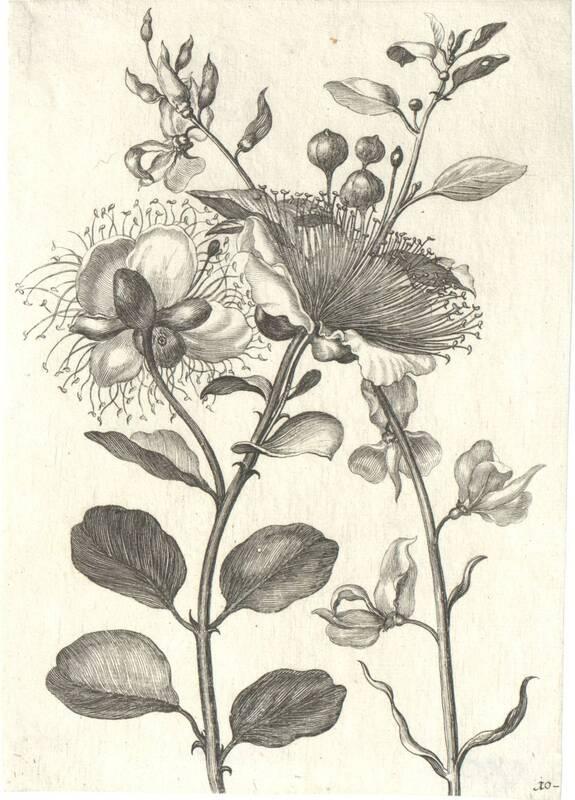 Blumen, Blatt 10 aus einer Folge von Blumendarstellungen (evtl. aus dem Neuen Blumenbuch) von Merian, Maria Sibylla