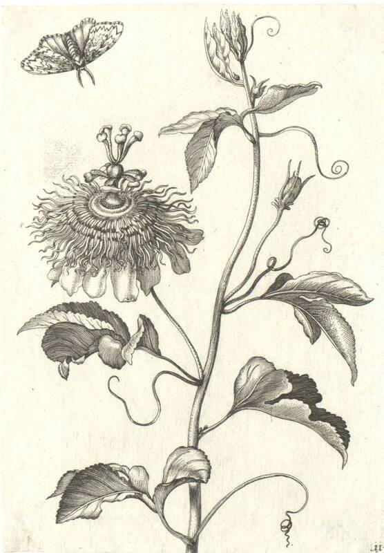 Blumen, Blatt 11 aus einer Folge von Blumendarstellungen (evtl. aus dem Neuen Blumenbuch) von Merian, Maria Sibylla